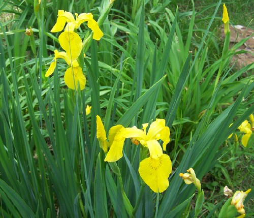 Yellow Siberian Iris | Rita McWhorter | Flickr