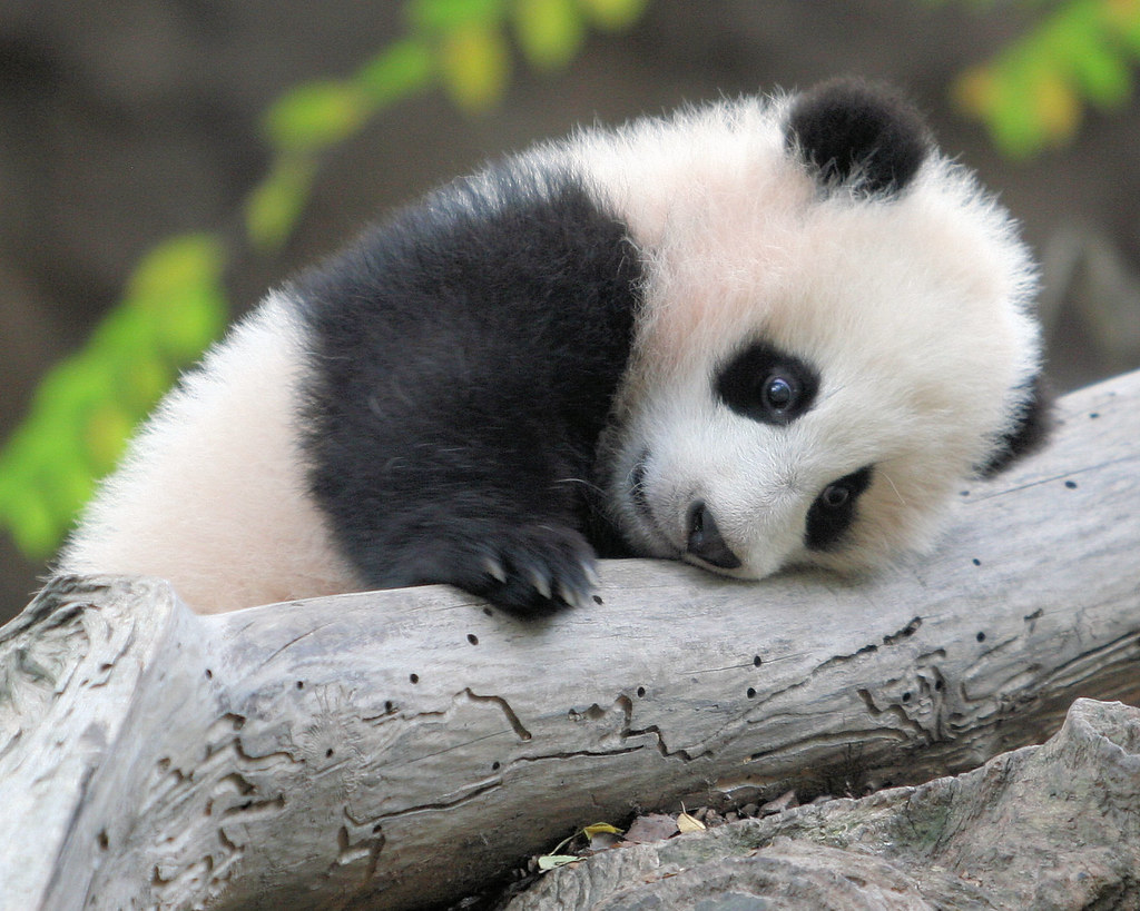 images of cute baby pandas - photo #2