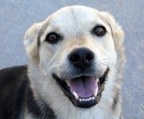 Dog Smile Teeth Smiling Dogs Teeth Smiling Dog