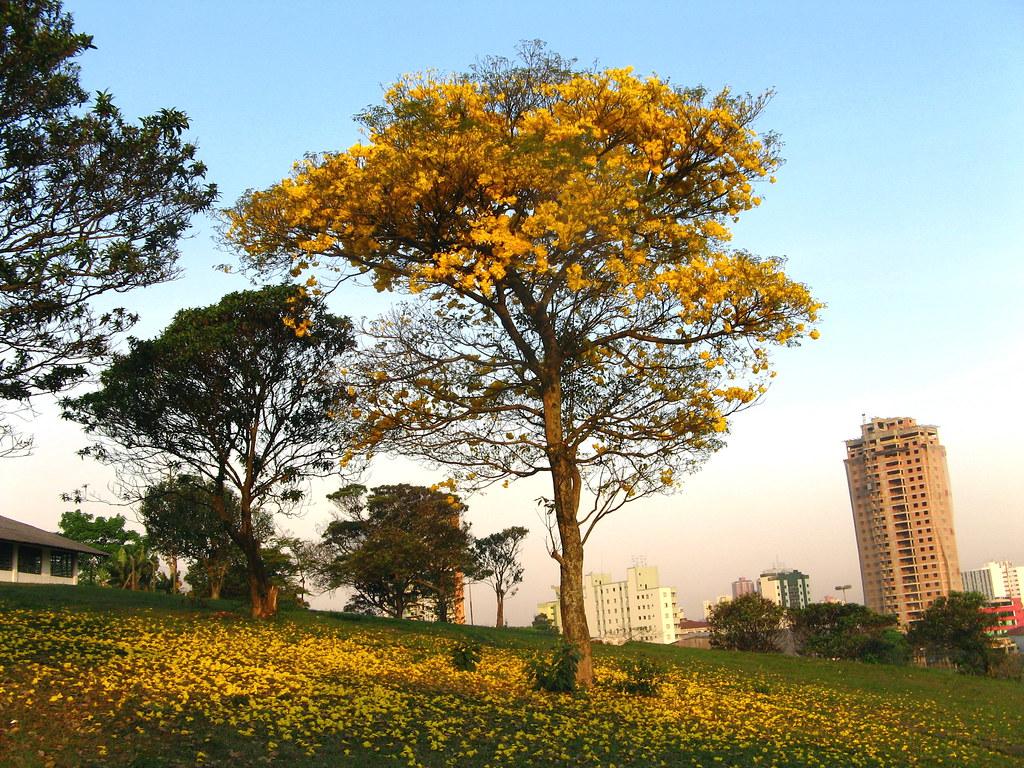 ypê ipê amarelo - golden trumpette tree - Brazilian walnut ...