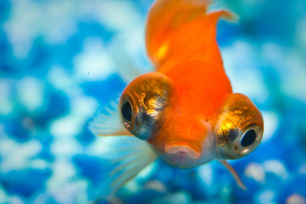 Can Gold Fish Live Onlong Feeder Food