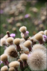 A bit of a thistle thing