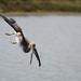 Brown Pelican Diving 2/3