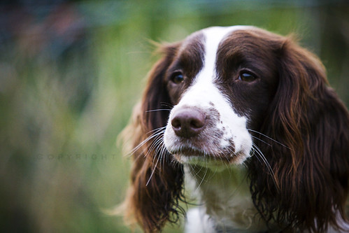 Brown Springer Spaniel...