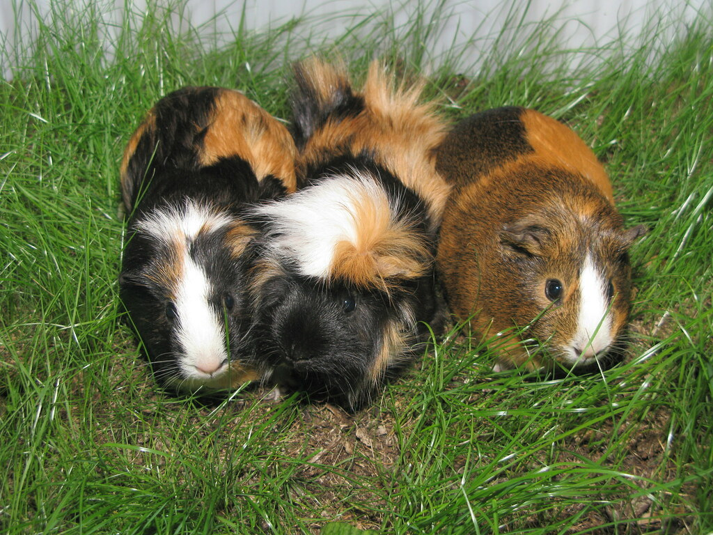 Female Vs Male Guinea Pigs