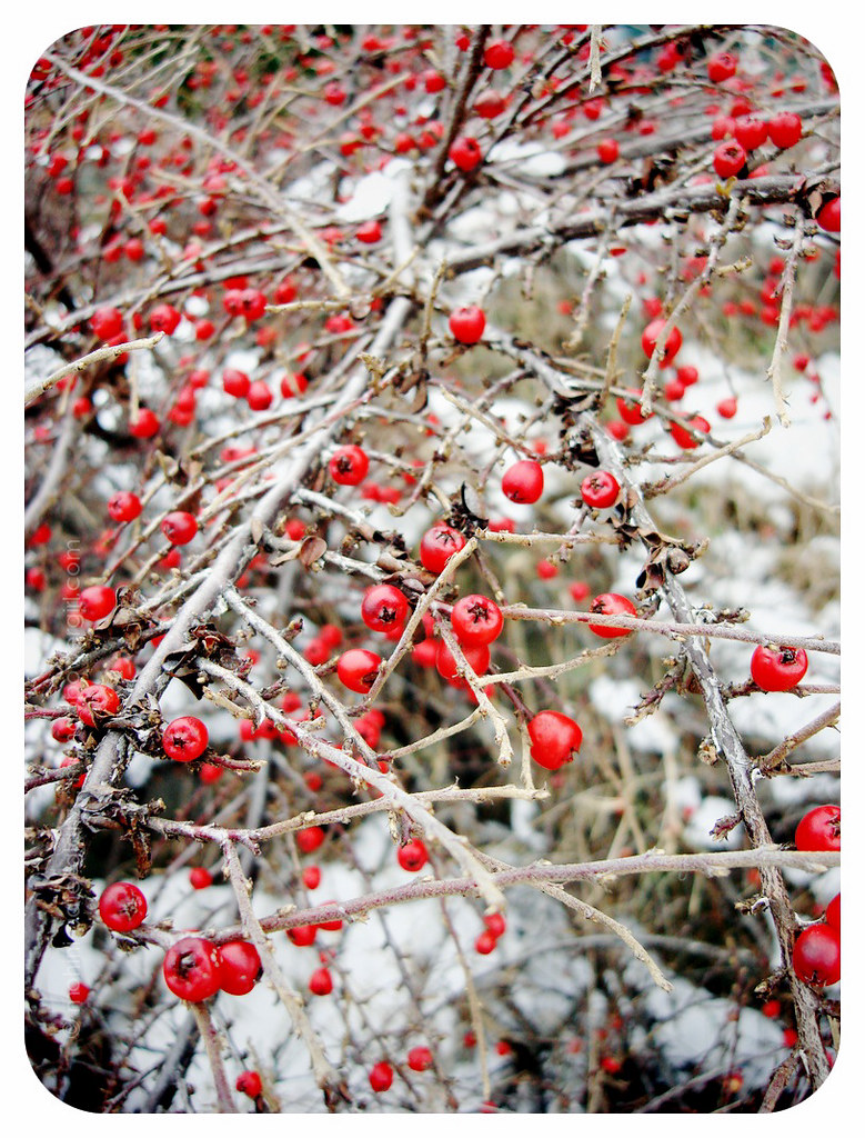 Red Winter Berries & Snow