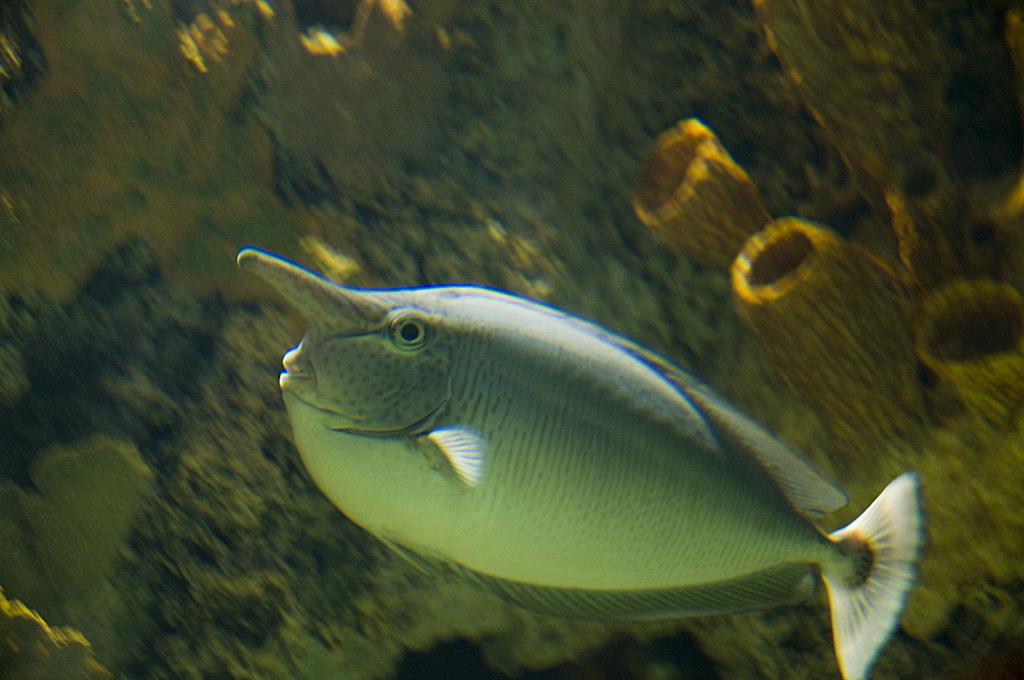 Elephant nose fish   Flickr - Photo Sharing!