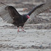 Turkey Vulture (Cathartes aura) on Morro Strand State Beach