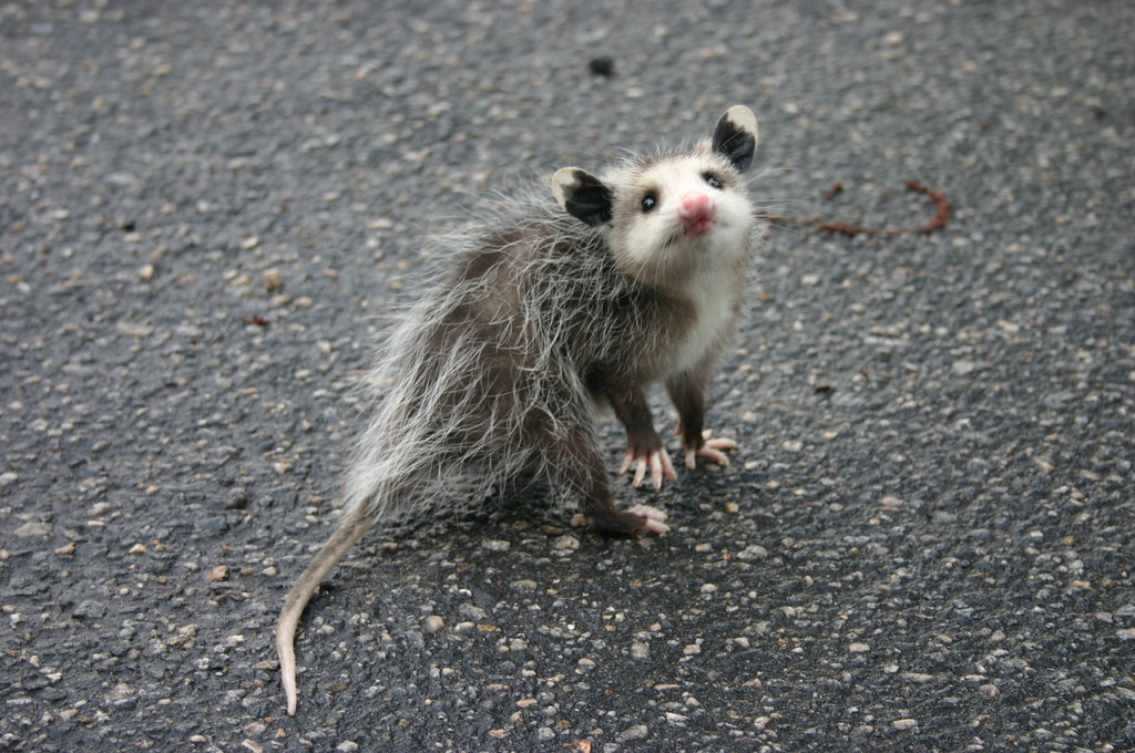 Baby Opossum - On Street | This morning there was an ...