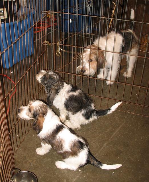 Petit basset griffon vendeen also called pbgv puppies - Petit basset griffon vendeen breeders toulon ...
