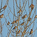 131001-IMG_4919 Bohemian Waxwing (Bombycilla garrulus) flock