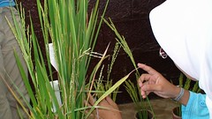 Rice research to production course 2008 | by IRRI Images