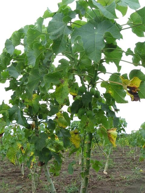Jatropha Plant Flickr Photo Sharing