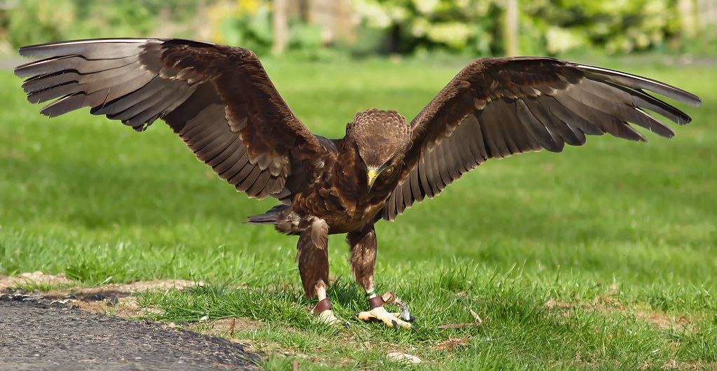 A young Bateleur Eagle landing at the Cotswold Falconry Ce ...