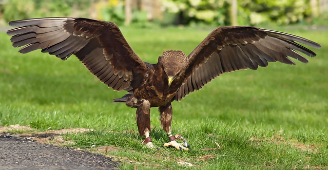 A young Bateleur Eagle landing at the Cotswold Falconry ...