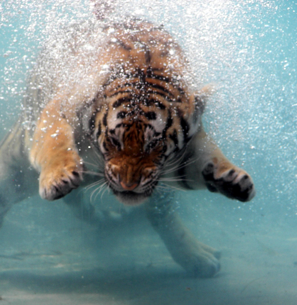 Orange tigers in the water
