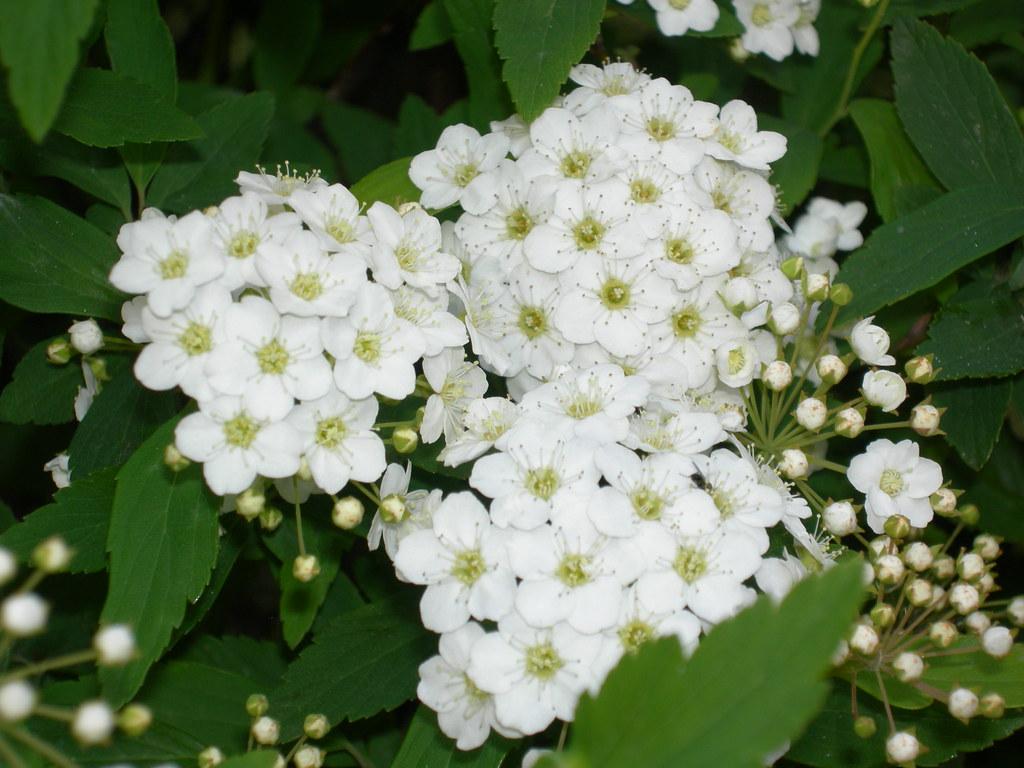 Flores Pequeñas (corona De Novia)