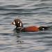 Harlequin Duck - male