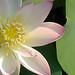 Lotus_Flower_IMGP2434