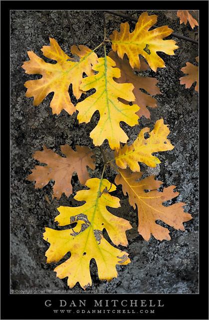 Oak Leaves Autumn Oak Leaves Autumn Yosemite National