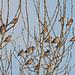 131001-IMG_4918 Bohemian Waxwing (Bombycilla garrulus) flock
