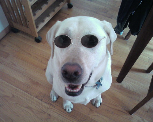 Cute Yellow Lab Wearing Sunglasses!  Too Cute!  Dog in Sunglasses Not Marley and Me.  LOL!  Photo by Emily | by nukeroth