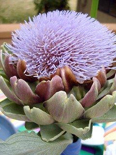 It's an artichoke flower! | by Kate Chan
