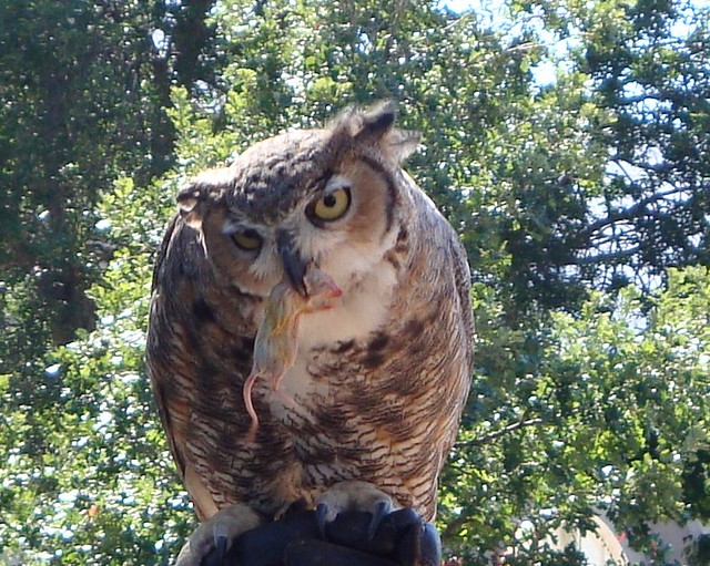 great horned owl eating 2 the handler from the