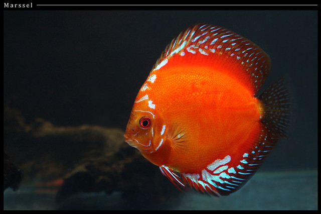 Discus Red Marlboro I love fish... http://www.flickr.com/g ...