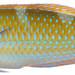 Halichoeres radiatus, Terminal Phase (Puddingwife Wrasse)
