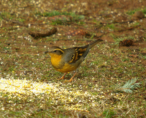 Varied Thrush Female | by bison_bill_c