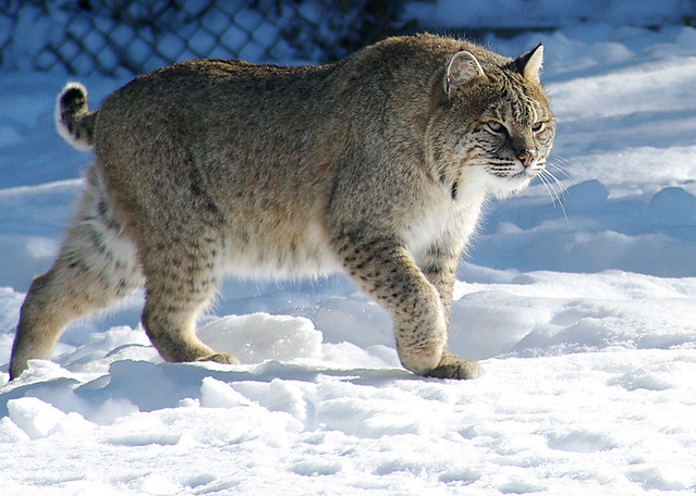 Bobcat In The Snow This Photo Was Taken At The