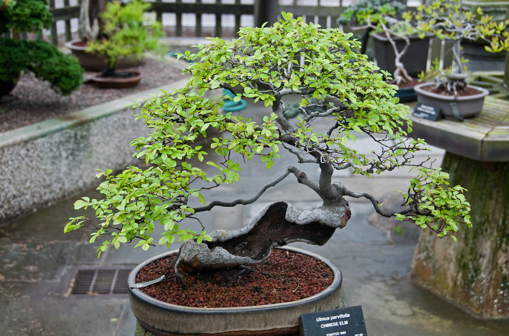 Chinese elm bonsai from the larz anderson collection - Bonsai de haya ...