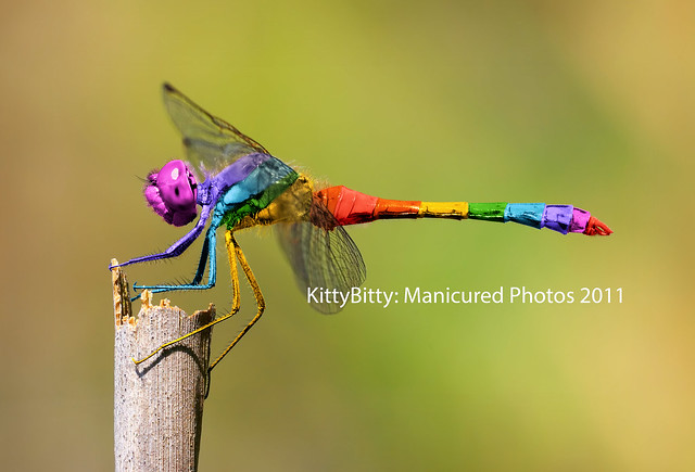 Rainbow Dragonfly 61 99 Flickr Photo Sharing
