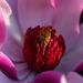 oh magnolia ...