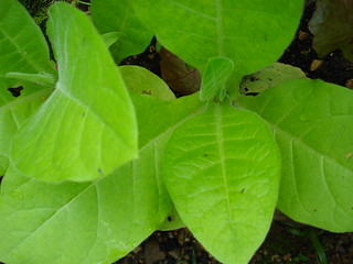 Nicotina (tobacco) plant | by allispossible.org.uk