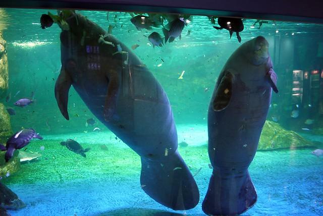 Manatee coex aquarium Manatee aquarium