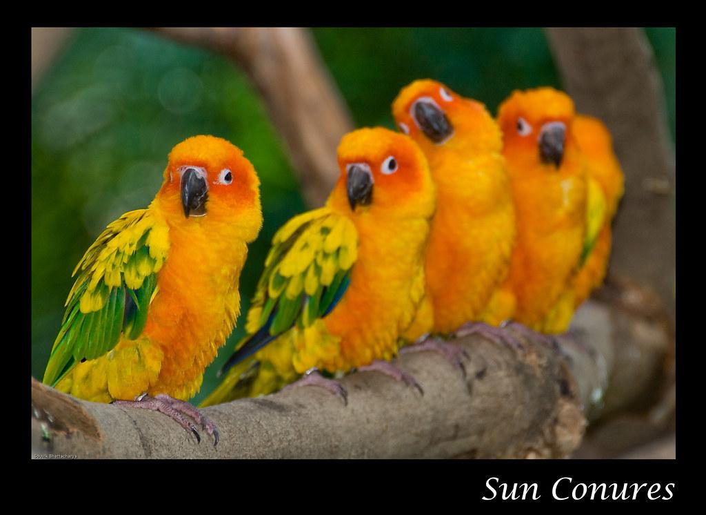 Sun Conures in The Wild Sun Conures Jurong Bird
