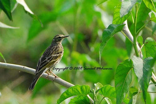 Rosy Pipit (Anthus roseatus) | by Samiul Mohsanin
