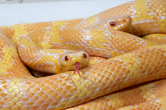 Jungle Corn Snake 5 Albino Jungle Corn Snake