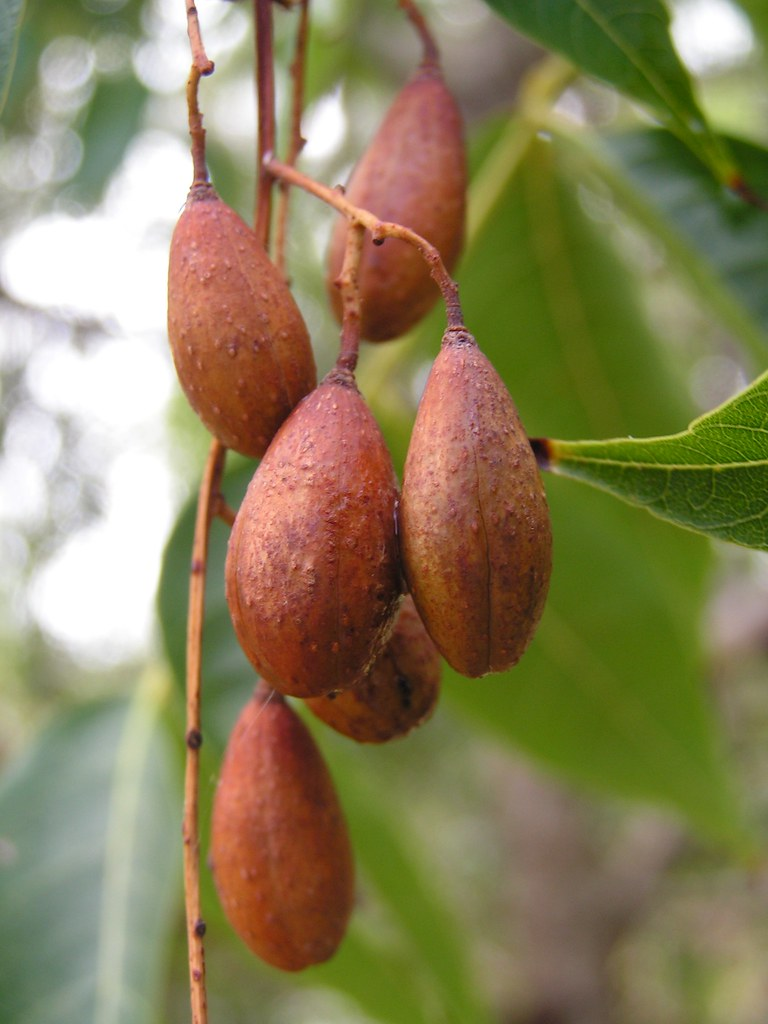 Toona ciliata red cedar cultivated fruit of