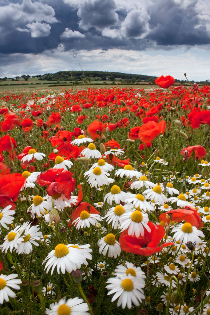 Summer In Derbyshire Beautiful Wildflowers Including Oxey Flickr