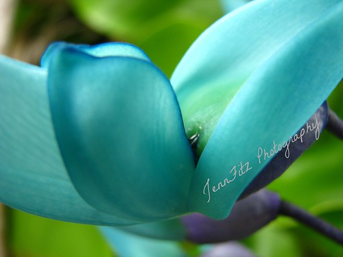 Jade Vine~~~Strongylodon macrobotrys | by Cream & 2 sugars