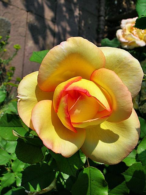 two coloured rose marie thérèse flickr