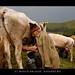 reportaj-viata-la-stana-de-vaci-by-moscu-dragos-22