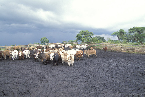 Herd of cattle | by World Bank Photo Collection