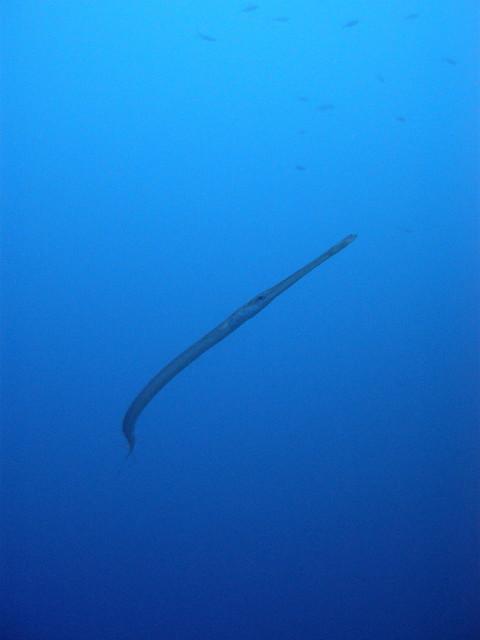 Cornet fish in deep water explore mattk1979 39 s photos on for Deep water fish