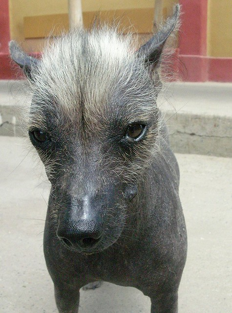 Mohawk Peruvian Hairless Dog One Of The Temples Eva