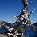 Dead tree ready to topple into Crater Lake