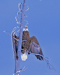 Bald Eagle in Winter | by mwaulk